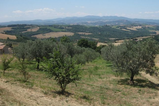 Olives of La Torretta, Grutti, Todi, Umbria