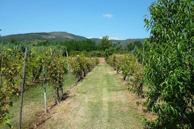 Vineyard of Molino Dello Zoppo Val di Chio, Castiglion Fiorentino, Tuscany