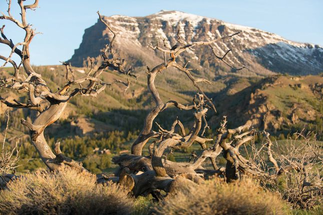 Dead Wood With Mountain Backdrop