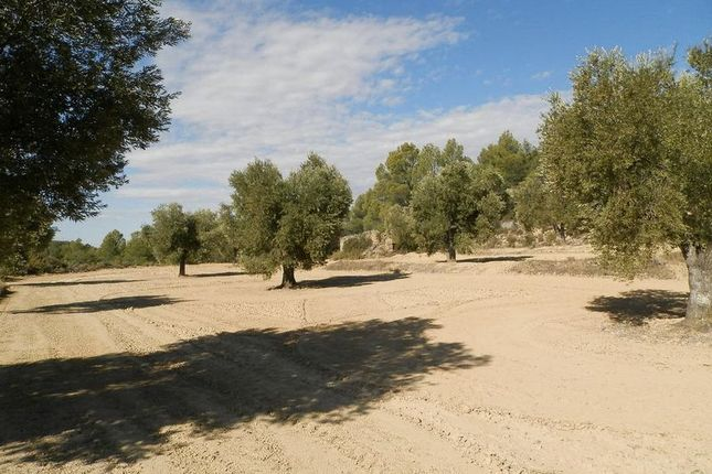 Olive Trees And Ruin