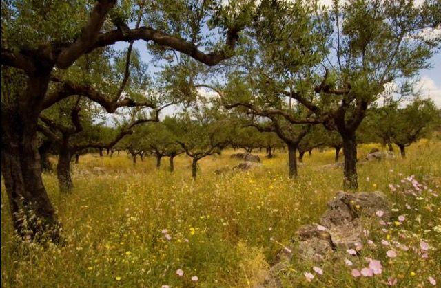 Olive Grove of Three Stunning Villas For Sale In Crete, Greece., Agios Nikoloas, Greece