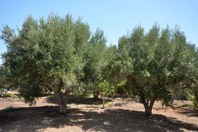 Fruit Trees of La Mata, Tiquital 8, Spain