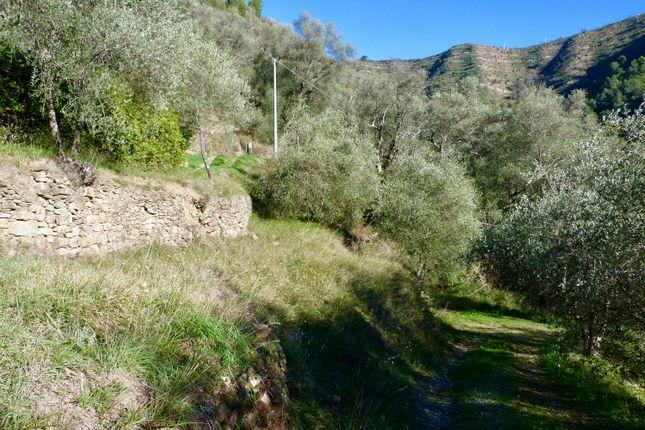 Olive Grove of Balloi, Camporosso, Imperia, Liguria, Italy