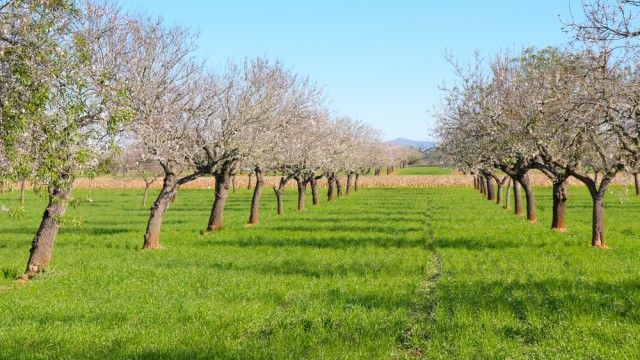 Field Of Blossoming Almond Trees