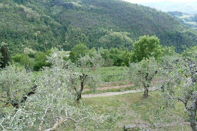 Olive Grove of Benabbio, Bagni di Lucca, Tuscany, Italy