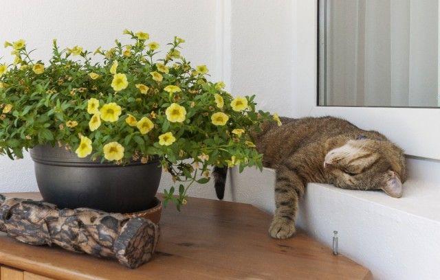 Sleeping Cat of Spain, Mallorca, Calvià, Bendinat
