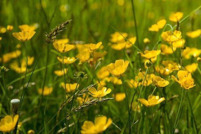 Meadow Buttercup 2 - Kew_1