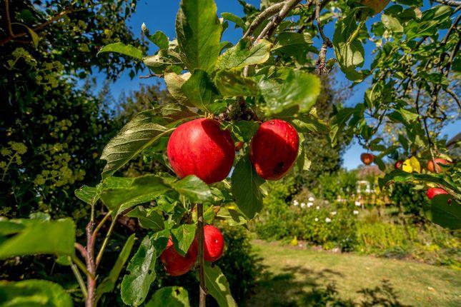 Fruit Trees of Bryne Lane, Padbury, Buckingham, Buckinghamshire MK18