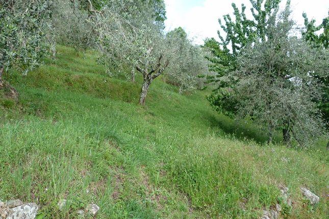 Olive Trees of Benabbio, Bagni di Lucca, Tuscany, Italy